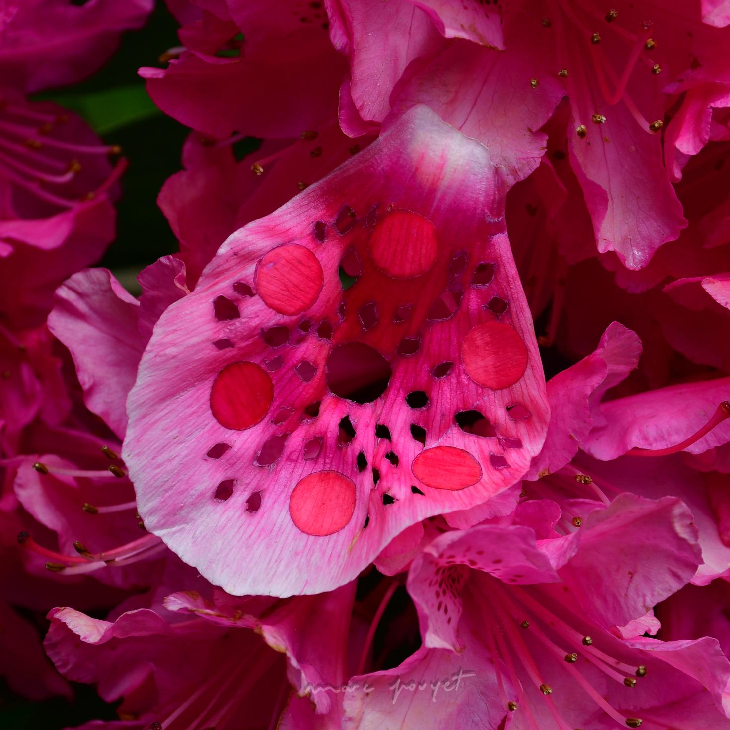 ARTICLE Pivoines de Rhododendrons